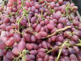 六月玫瑰葡萄苗_优惠的葡萄苗出售