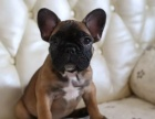 纯种的法国斗牛犬适合小孩养吗 性格怎么样