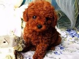 广州官方认证宠物领养中心 多品种小狗赠送