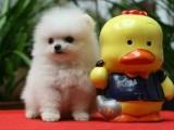 重庆 博美犬 品种齐全 多只挑选 送用品签协议