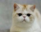 五个月大加菲公猫转让