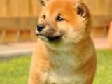 佛山哪里有卖健康柴犬 日本柴犬实体狗场疫苗做齐签协议