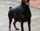 高品质德系杜宾幼犬出售 头版正 骨量大 包健康纯种