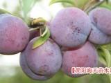 宜宾有卖脆红李果树苗,哪有嫁接红脆李子苗,供应汶川脆红李子苗