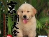 丽江哪里有卖金毛犬的