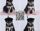 狗场直销:日本柴犬 黑柴犬 品相好 带证书 赛级精品柴犬