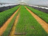 广东芦笋种子多少钱一斤农科院芦笋种子价格