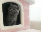 自家英短蓝白蓝猫找新家