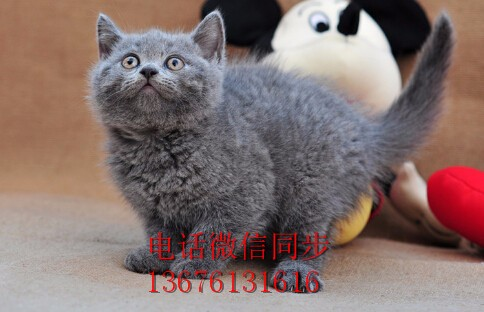 汕头哪里有卖蓝猫 潮阳区哪里有卖蓝猫 蓝猫好不好养