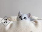 CFA猫舍出售精品包子脸英短蓝猫包纯种健康