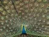 出售蓝孔雀 小孔雀价格量大优惠
