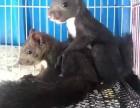 出售三王松鼠一只