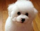 棉花糖版比熊幼犬,超级卡哇伊 实物拍摄签协议包健康