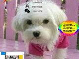 上海哪里有卖马尔济斯的 马尔济斯掉毛吗 马尔济斯一般多少钱