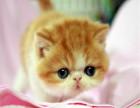 多只精品加菲猫宝宝疫苗驱虫已做好喜欢就速速下单