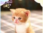 【RNJ猫家】2017年最新一窝曼基康矮脚小猫