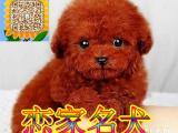 全天营业免费送货上门 签订购犬协议 泰迪犬