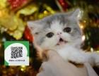 天津哪里卖加菲猫 加菲猫价格 加菲猫哪里有卖