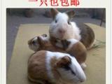 包邮 天竺鼠 仓鼠 熊猫兔 宠物兔 大量出售