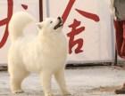 高品质澳版微笑天使萨摩耶雪橇犬 疫苗三针包售后服务