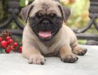 出售纯种巴哥犬 自家养殖的 当面测试交易 包健康
