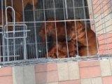 腊肠犬哪有卖的/宠物店狗市在哪里