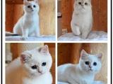 哪里有出售精品宠物短毛猫包纯种健康送货上门