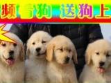 专业金毛狗场——微信看狗 随时可送货上门种公配种