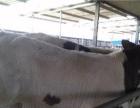 供应肉牛犊,黄牛犊,西门塔尔牛犊,鲁西黄牛犊,利木