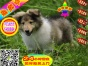 乖巧可爱的小苏格兰牧羊犬幼犬很纯种又很乖巧