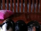 出售自养小荷兰猪