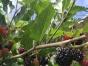 纯天然无公害有机葡萄香瓜鸭梨苹果可免费挖健康野菜。