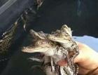 宠物泰国鳄鱼