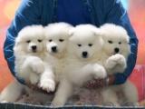东莞 出售纯种萨摩耶犬 狗狗出售 可签协议质保健康