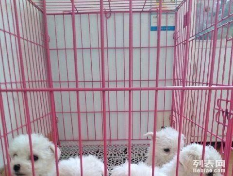 家养高品质纯种小体比熊幼犬,泰迪幼犬出售,健康。
