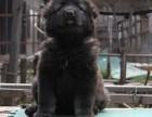 本地出售**俄系巨型熊版高加索出售 纯种健康签协议有保障