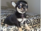 家庭式繁殖高品质吉娃娃幼犬 保纯保健康3个月可退换