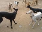格力犬价格纯种格力犬多少钱