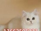 优雅的金吉拉猫咪已打齐疫苗可上门挑选 送货
