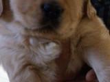 哈尔滨出售金毛 卖赛级大头金毛幼犬