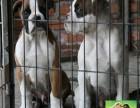 自家犬舍繁殖双系统赛级 美系拳狮犬幼犬公母