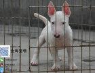 出售纯种猛犬看家牛头梗疫苗驱虫已做齐全包健康签协议