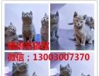 专业繁殖的暹罗猫宝宝多只可选,包纯种健康