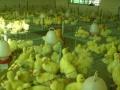 江苏生态鹅业养殖加盟 签合同包回收 回本快 投资小