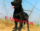 犬舍出售黑狼杜高犬莱州红杜宾罗威纳卡斯罗德国牧羊犬马犬高加索