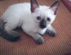 青岛暹罗猫怎么卖的 青岛暹罗猫的价格是多少钱 暹罗猫照片