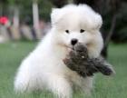 杭州萨摩耶幼犬多少钱一只杭州哪里有卖萨摩耶 萨摩耶价格
