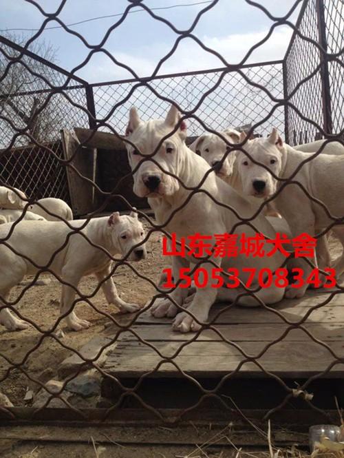 出售纯种阿根廷杜高犬成犬 杜高幼犬 带证书 芯片 多只出售