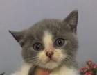 家中20只英短幼猫出售