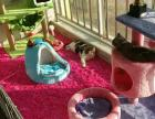 cfa猫咪俱乐部纯种英短蓝猫 纯种加菲猫 异国短毛猫